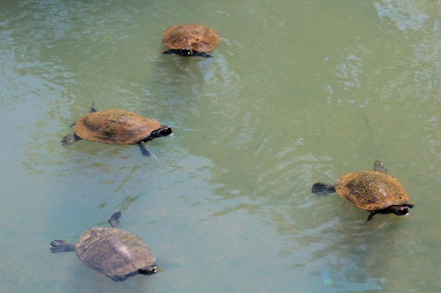 Here's a herd of turtles in the water...