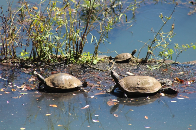 …and here's a herd of turtles on land.