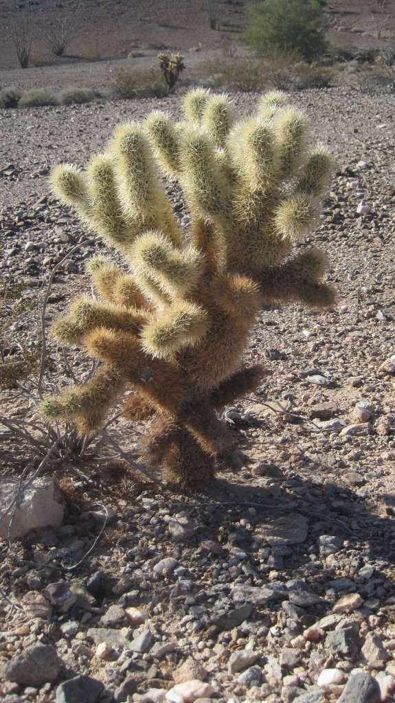 "Ouch! These Cholla ""bombs"" are ready for dispersal!"