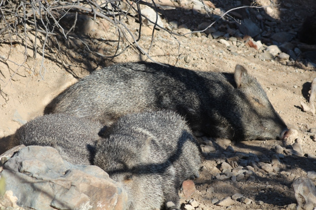 Talk about the easy life! These Javelinas are sure enjoying it.