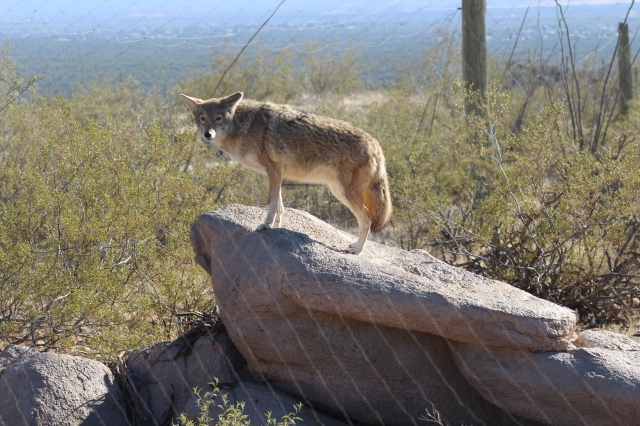 We found Wile E. Coyote anxiously awaiting a FedEx delivery of the latest invention from the Acme Manufacturing Company.
