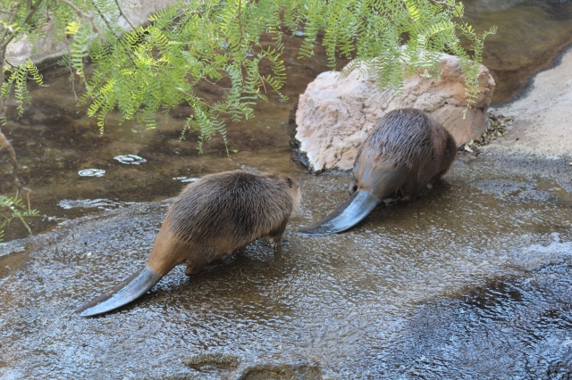 Beavers? In the desert??