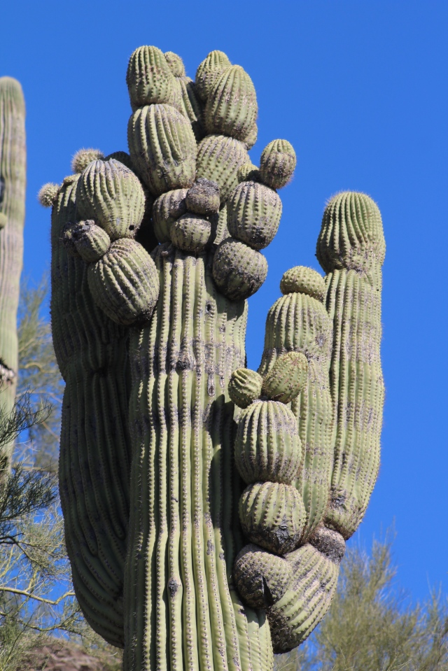 OK, it's not a crested saguaro, but it is a saguaro on acid...
