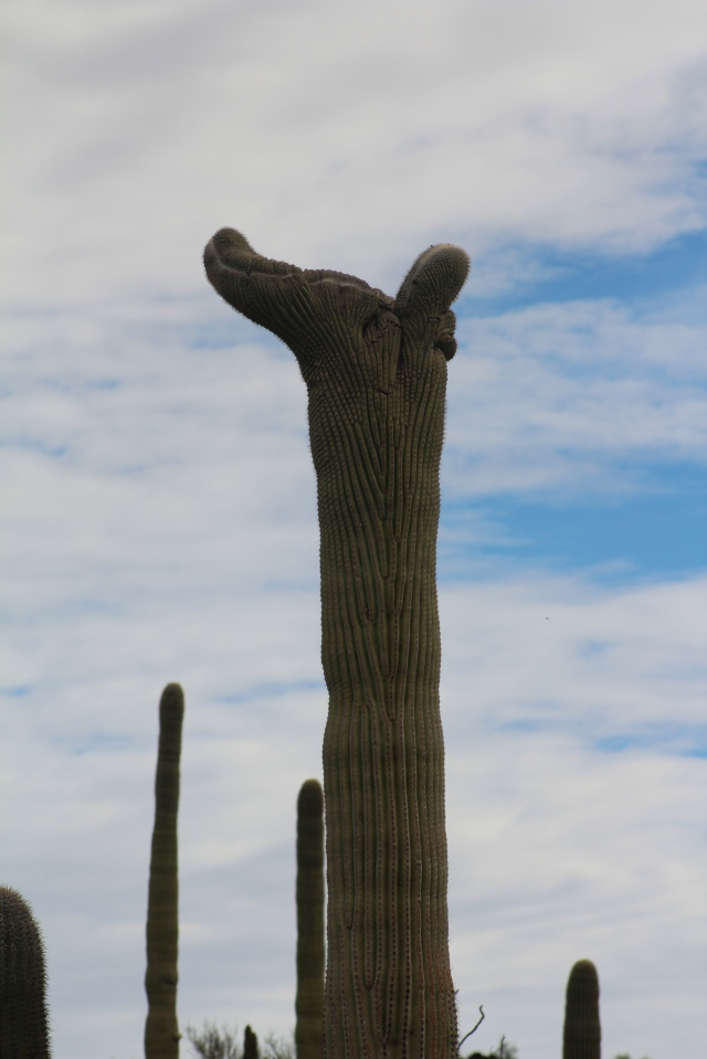 Crested saguaro #4, on the way into Organ Pipe Nat'l Monument...