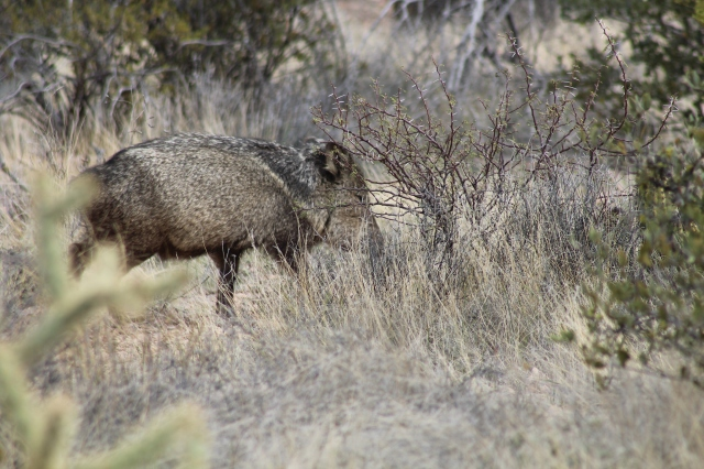 A Javelina checking us out.