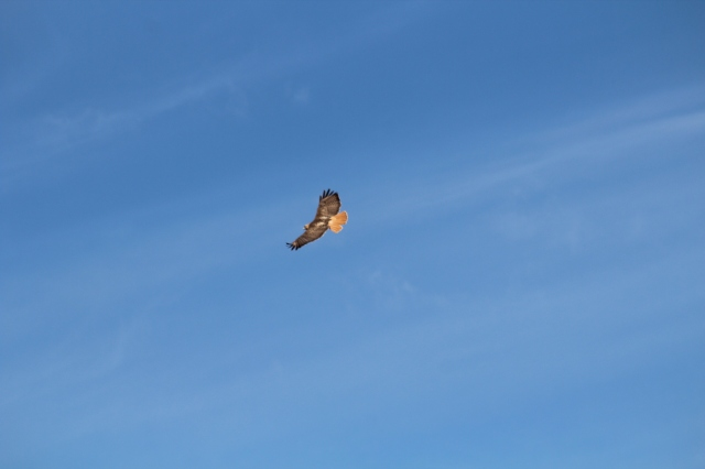 Border Patrol, disguised as a Red Tailed Hawk...