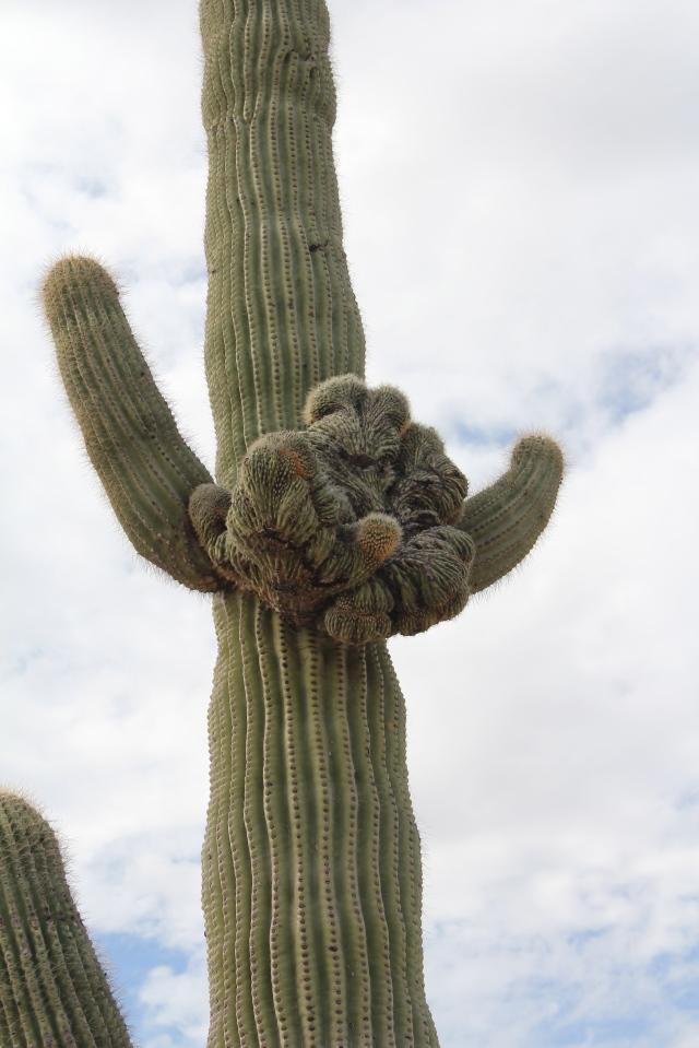 Crestie #6, a saguaro...