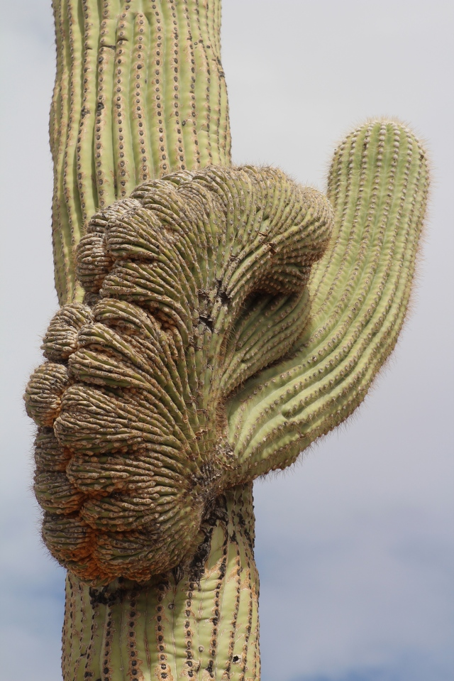 Crestie #7, another saguaro...