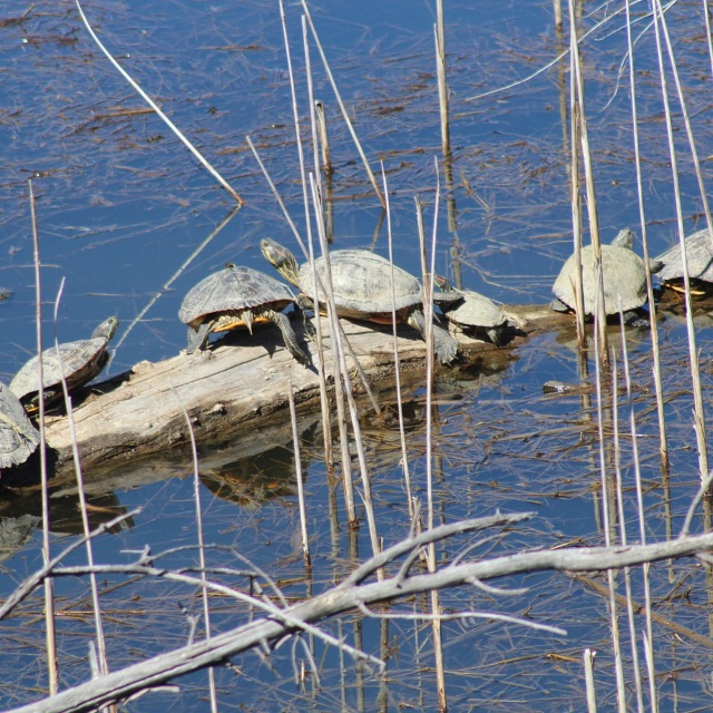 Another fleet of turtles along Watson Lake.