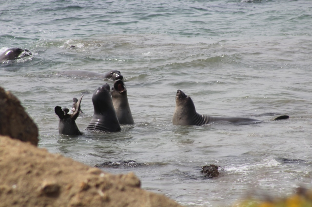 Elephant Seals barking away while playing in the ocean.