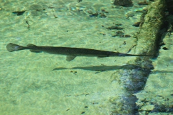 Alligator Gars all over the place!