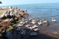 The pelicans hang out around the fish cleaning station for their Scoobie snacks.